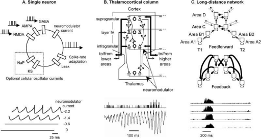 Simulation Components and Resulting Spontaneous ActivityShown are the constituents of the simulation (upper diagrams) and typical patterns of spontaneous activity that they can produce (lower tracings). We simulated a nested architecture in which spiking neurons (A) are incorporated within thalamocortical columns (B), which are themselves interconnected hierarchically by local and long-distance cortical connections (C) (see Materials and Methods for details). While single neurons may generate sustained oscillations of membrane potentials (A), only the column and network levels generate complex waxing-and-waning EEG-like oscillations (B) and metastable global states of sustained firing (C).