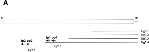 Cloning of Eg7 cDNA.  (A) The open box represents the  coding region (1,360 amino acids). Eg7.1–Eg7.4 correspond to  partial cDNAs obtained by  screening a Xenopus egg library.  Eg7.5 and Eg7.6 were obtained by  PCR from an oocyte library. The  positions of primers used for  nested PCRs are indicated by arrows. (B) Comparison of the deduced amino-acid sequences of  Xenopus pEg7 (Xl-Eg7) and the  human gene product KIAA0159  (Hs-ORF). The P (amino acids  489–710) and G (amino acids  720–960) regions used to construct the His-tagged recombinant polypeptides are delimited  by arrows above the Xl–Eg7 sequence.