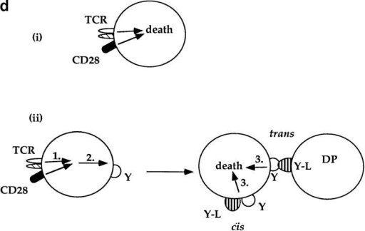 Only TCR-CD28–stimulated DP thymocytes die in response to TCR-CD28 coengagement. (a) TCR-CD28 stimulation will  not kill bystander CD28 KO DP thymocytes. Individual populations of  DP thymocytes from wild-type B6 mice and CD28 KO mice were cultured and stimulated independently with platebound antibodies. % Cell  death of each population of DP thymocytes was quantitated and normalized as described in Materials and Methods. (b) Experimental design. DP  thymocytes from wild-type mice (CD28+Ly5.2+) were mixed in a 1:1 ratio  with DP thymocytes from CD28-deficient mice (CD28−/−Ly 5.1+) and  stimulated by platebound anti–TCR-β and anti-CD28. Thymocytes  were harvested after overnight culture and percent cell death in each population was determined. CD28+/+ and CD28−/− DP thymocytes were  distinguished by the presence or absence of Ly5.1 staining. (c) Bystander  CD28 KO DP thymocytes are not killed by TCR-CD28 signals. DP thymocytes were isolated from wild-type and CD28-deficient (CD28 KO)  mice which differed in Ly5 expression such that wild-type DP thymocytes were Ly5.2+ and CD28 KO thymocytes were Ly5.1+. Harvested  cells were stained with both anti-Ly5.1 antibody and EtBr to determine  cell death in each population of cocultured DP thymocytes. Percent cell death was quantitated and normalized as described in Materials and Methods. (d)  Schematic of the mechanism by which TCR-CD28 coengagement kills DP thymocytes. This figure illustrates two possible CD28-dependent mechanisms of TCR-mediated apoptosis of DP thymocytes, both of which result in death exclusively of TCR-CD28–stimulated DP thymocytes. The upper  figure (i) illustrates one scenario in which simultaneous coengagement of TCR and CD28 molecules directly and cell-autonomously induces an apoptotic program. The lower figure (ii) illustrates an alternative scenario in which simultaneous coengagement of TCR and CD28 induces expression of a  death domain containing receptor (Y) that signals apoptosis upon interaction with its ligand (Y-L, Y ligand) that is also expressed on DP thymocytes. In  this latter case, the ligand could conceivably engage the death receptor in either cis or trans.