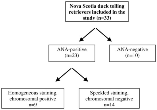 Flow chart for indirect immunofluorescence-antinuclear antibody IIF-ANA-positive sera from Nova Scotia duck tolling retrievers with a systemic rheumatic disorder.