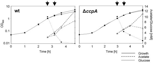 Growth, glucose consumption and acetate build-up. Growth, glucose consumption and acetate formation in strain Newman (wt) and its isogenic ΔccpA mutant (ΔccpA). Cells were grown to an OD600 of 1, cultures were split and 10 mM glucose was added to one half of the culture (squares), while the other half remained without glucose (triangles). Cells were sampled at an OD600 of 1 and 30 min after glucose addition for RNA isolation (indicated by arrows). Experiments shown are representative for three independent experiments.