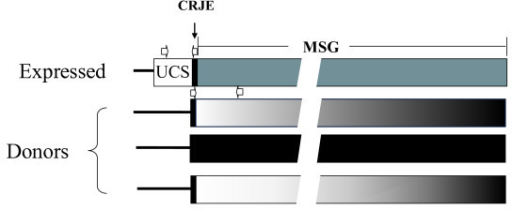 Maps of expressed and donor MSG genes. The expressed MSG gene is adjacent to the UCS sequence. Donor MSG genes are not adjacent to the UCS sequence, which is unique in the genome. For illustrative purposes, just three of approximately 80 donor genes are depicted. There is a copy of the CRJE, which is a 24 basepair conserved sequence, at the beginning of MSG genes, including the one attached to the UCS. The discontinuities in the MSG genes are there to indicate that the genes are not drawn to size relative to the UCS and CRJE. The open horizontal arrows show the locations and orientations of PCR primers. The two arrows above the expressed gene represent the -145 and α-CRJE primers (Additional file 3, Table S2). The two arrows above the first donor gene represent the CRJE and C2 primers (Additional file 3, Table S2).