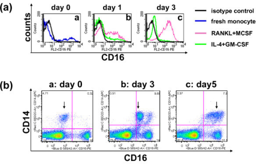 Cytokines alter the cell surface expression of CD16 and human CD14+ cells undergo a transitional stage of CD16 up-regulation in OC-promoting culture conditions. (a) Enriched human monocytes were cultured in osteoclast (OC)-promoting media (receptor activator of nuclear factor kappa-B ligand (RANKL) + macrophage colony-stimulating factor (M-CSF), pink line) or dendritic cell (DC)-promoting media (IL-4 + granulocyte-macrophage colony-stimulating factor (GM-CSF), green line). Freshly isolated monocytes (blue line) and the isotype control (black line) are also shown. Surface expression of CD16 was monitored by FACS analysis on [a] day 0, [b] day 1, and [c] day 3, respectively. (b) Human peripheral blood mononuclear cells (PBMC) were cultured in OC-promoting media (RANKL + M-CSF) and the cell surface expression of CD14 and CD16 was monitored on [a] day 0, [b] day 3, and [c] day 5. Data shown here are live cells after forward scatter/side scatter (FSC/SSC) gating followed by dead cell exclusion using 7-amino-actinomycin D (AAD). Numbers shown in each quadrant are the percentage of total gated cells.