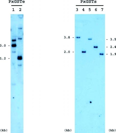 Southern blot analyses of PxGSTe and PxGSTs genes from Plutella xylostella. Total DNA digested with KpnI (lane 1) or EcoRV (lane 2) in combination with PstI was size-fractionated on an agarose gel, transferred to a nylon membrane and hybridized with a PxGSTe probe. HindIII (lane 3), HindIII/ClaI (lane 4), HindIII/KpnI (lane 5), HindIII/PvuII (lane 6) and HindIII/SpeI (lane 7) digests were similarly hybridized with a PxGSTs probe.