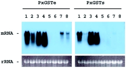 Developmental expression of PxGSTe and PxGSTs genes from Plutella xylostella. Total RNA extracted from 1st and 2nd instar larvae (lane 1), 3rd instar larvae (lane 2), male 4th instar larvae (lane 3), female 4th instar larvae (lane 4), male pupae (lane 5), female pupae (lane 6), male adults (lane 7) and female adults (lane 8) were analyzed by RNA gel blot analysis. The photographs of the ethidium bromide-stained RNA gel before transfer are also shown.