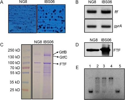 Differential expression of fructosyltransferase in wild-type and ΔcovR strains of NG-8.(A). Colony morphology of IBS06 (covR mutant) and NG-8 (isogenic wild-type parent) on mitis-salivarius agar medium. Plates were incubated at 37°C under microaerophilic conditions for 48 hrs. (B) Semi-quantitative RT-PCR analysis of ftf and gyrA for the strains NG-8 and ΔcovR (IBS06). The gyrA gene was included as an internal control to ensure that equal amounts of RNA were used for each RT-PCR reaction. Experiments were repeated at least twice with two independent RNA isolations. (C) Analysis of extracellular proteins from the wild-type and the ΔcovR strains. Supernatant proteins from overnight cultures were precipitated by 20% TCA, washed with acetone, and resuspended in PBS. Equal amounts of protein were loaded in each lane, and samples were run on SDS-PAGE (4–20%) gels and stained with Coomassie blue. Bands marked with arrowheads were excised from the stained gel, and identified by mass spectrometry. Lanes: M, Fermentas prestained marker; 1, NG-8; 2, IBS06. Proteins identified by mass spectrometry are indicated at the right. (D) Western blot analysis of FTF (fructosyltransferase) expression. NG-8 (wild-type, lane 1) and IBS06 (covR, lane 2) were grown overnight in THY broth and whole-cell extracts were prepared. Equal amounts of cell extracts were separated on 4–20% SDS-PAGE gels and reacted with anti-FTF antibody (E). In vitro binding of CovR to the promoter of ftf (Pftf). EMSA was performed with His-tagged CovR as described in the text. An increasing concentration of CovR was added to 0.1 pmole of the putative promoters as follows: lane 1, 0 µM; lane 2, 0.5 µM; lane 3, 1.25 µM; lane 4, 2.5 µM. Lane 5 contains 1.25 µM CovR with 10 pmole of non-labelled Pftf DNA.