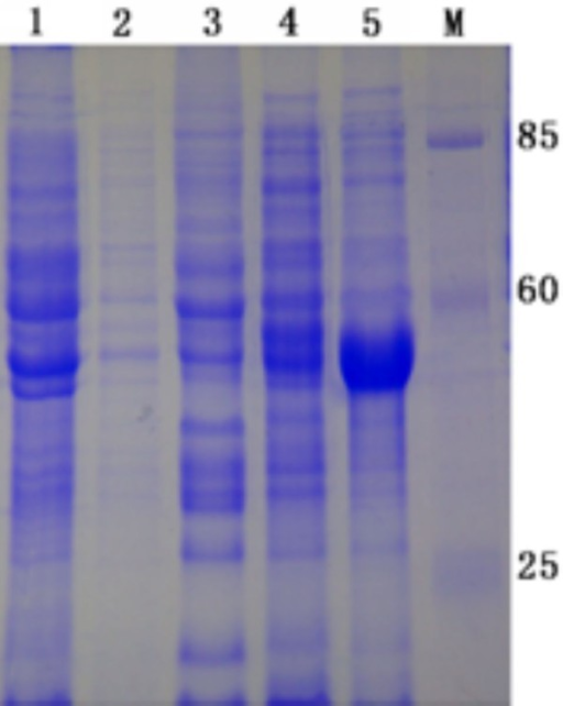 The expression pET32a(+)/UL55 protein produced in E. coli strain BL21 (DE3). The pET32a(+)/UL55 protein was expressed in E. coli BL21(DE3) host strains. M represented standard protein molecular weight markers. Lane 1, the culture of pET-32a(+) after induction in E.coli BL21; Lane 2 and Lane3, the supernatant and pellet of the recombinant pET-32a(+)/UL55 cultures before induction in E.coli BL21, respectively. Lane 4 and Lane 5, the supernatant and pellet of the recombinant pET-32a(+)/UL55 cultures after induction in E.coli BL21, respectively.