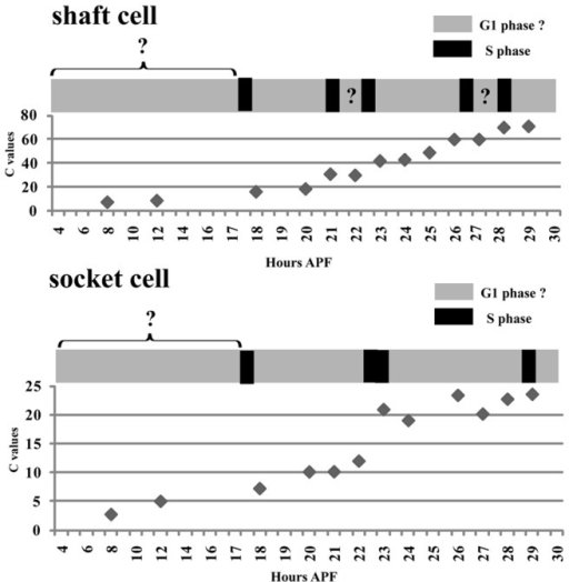 Model of dynamics of endoreplication during the development of pSC shaft and socket cells.Pattern of endoreplication and dynamic changes in C values in shaft and socket cells from 4 to 30 hours APF. Black boxes indicate S phases. Gray boxes indicate possible G1 phases. Patterns of BrdU incorporation in the periods indicated by Gray boxes with question marks were not determined.