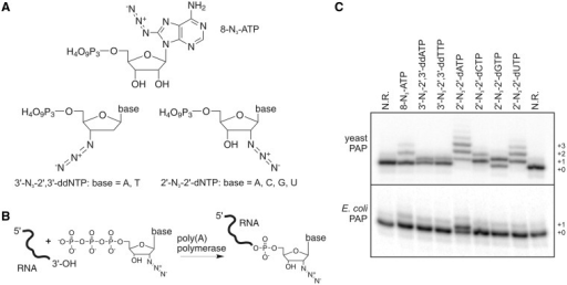 Incorporation of different N3-modified NTPs by different PAPs. (A) Overview of the modified NTPs employed in this study. (B) Schematic representation of the addition of a 2′-N3-modified nucleotide to the 3′-terminus of an RNA sequence by PAP. (C) Addition of various N3-modified nucleotides by yeast and E. coli PAP to the 3′-terminus of RNA1. N.R.: no reaction control. Analysis by 18% seqPAGE. Radioactive bands are shown. Bandshifts indicate the incorporation of one or more nucleotides.
