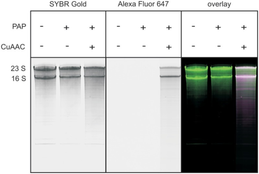 Fluorescent labeling of a natural RNA sample. A total RNA isolate from E. coli was reacted with 2′-N3-2′-dUTP and yeast PAP, and further subjected to CuAAC with Alexa Fluor 647 alkyne. Analysis by 8% denaturing PAGE. SYBR Gold scan (left panel), Alexa Fluor 647 scan (middle panel) and overlay (green: radioactivity; magenta: fluorescence; white: both; right panel) are given. The two main bands represent 23S and 16S ribosomal RNA.