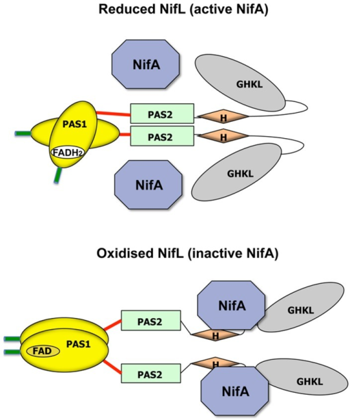 working model for redox signal transduction by nifl the open i