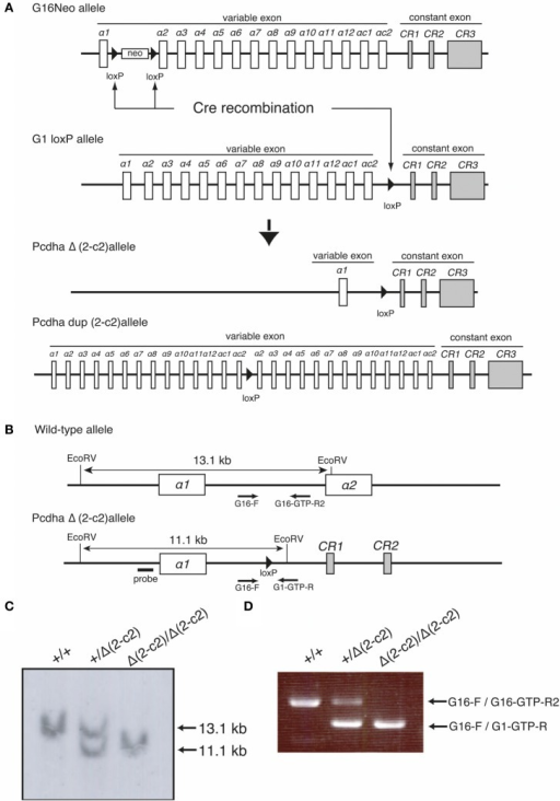 "Generation of the PcdhaΔ(2–c2) and Pcdhadup(2–c2) alleles in mice. (A)PcdhaΔ(2–c2) and Pcdhadup(2–c2) mice were generated by mating G16Neo mice, G1 loxP mice, and Sycp-Cre transgenic mice created by synaptosomal-Cre (TAMERE) system in the testis. This Cre is expressed during meiotic crossing-over. (B) Partial genomic structures of the WT and PcdhaΔ(2–c2) allele. (C,D) Genotyping of WT (+/+), Pcdha+/Δ(2–c2) [+/Δ (2–c2)], and PcdhaΔ(2–c2)/Δ(2–c2) [Δ 2–c2/Δ(2–c2)] by Southern blot and PCR analyses (see ""Materials and Methods"")."