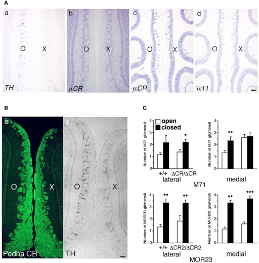 Expression of Pcdh-α and the number of M71 and MOR23 glomeruli after naris occlusion of WT and Pcdh-α-deficient (PcdhaΔCR/ΔCR and PcdhaΔCR2/ΔCR2) mice. (A) A WT mouse was subjected to unilateral naris closure at P21 and analyzed after 1 week. The expression of tyrosine hydroxylase (TH) (a) and αCR transcripts (b) of the closed (X) and open (O) sides in the OB were examined by in situ hybridization histochemistry. The expression of α11 and αCR transcripts in the OE were also examined (c, d). Scale bar, 100 μm. (B) A WT mouse was subjected to naris occlusion at P5 and analyzed at P30. Pcdh-α immunoreactivity with the anti-Pcdhα CR antibody was strong in OSN axons and glomeruli in both the closed (X) and open (O) sides at similar levels (e), in contrast to the change in TH signals (f). Scale bar, 100 μm. (C) The number of M71 and MOR23 glomeruli per lateral and medial half-bulb of the open (white bars) and closed (black bars) sides after naris occlusion in WT (+/+) and Pcdh-α-deficient (PcdhaΔCR/ΔCR and PcdhaΔCR2/ΔCR2) mice at P30. Although ectopic glomeruli were further increased in PcdhaΔCR/ΔCR (ΔCR/ΔCR) and PcdhaΔCR2/ΔCR2 (ΔCR2/ΔCR2) mice by the treatment, the total number of glomeruli after treatment was almost the same in the WT and Pcdh-α-deficient (PcdhaΔCR/ΔCR and PcdhaΔCR2/ΔCR2) mice. The number of MOR23 glomeruli in PcdhaΔCR2/ΔCR2 mice are shown in Table 1. Significant differences at *P < 0.05, **P < 0.01, and ***P < 0.001 calculated by the Mann–Whitney U-test.