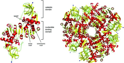 Schematic view of the dimer (a) and dodecamer (b) of the probable oxidoreductase PA1648. The catalytic and nucleotide-binding domains are labelled alongside the two consensus motifs and the NADP+-binding site.