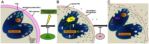 Model of the role of PKG in egress.(A) PfSUB1 and PfAMA1 are stored in exonemes and micronemes respectively in developing intracellular merozoites. Rapid turnover of cGMP maintains PfPKG in an 'off' state. (B) Upon an endogenous or exogenously-supplied signal (which can be mimicked by zaprinast-mediated inhibition of one or more parasite PDEs), cGMP levels are raised above threshold levels, resulting in activation of PfPKG and phosphorylation of its substrates. This leads to discharge of both PfSUB1 and PfAMA1, perhaps via an increase in cytosolic Ca2+ released from intracellular stores. PfAMA1 translocates onto the merozoite surface, whereas PfSUB1 is released into the PV. PVM rupture rapidly ensues, as well as limited permeabilization of the RBC membrane. (C) The Ca2+ flux may activate CDPK5 for a downstream role in egress. Eventual rupture of the RBC membrane is mediated by at least one E64-sensitive cysteine protease, allowing egress. PfPKG may rapidly return to an inactive state upon lowering of cGMP levels, whilst PfPKG substrates may be dephosphorylated through the action of endogenous phosphatases.