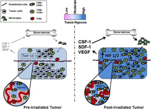 Representation ofthe microenvironment of pre- and postirradiated tumors. The post-irradiated tumor has increased levels of hypoxia, upregulated HIF 1/2 signaling, and expression of a diverse spectrum of cytokines as well as a greater recruitment and influx of bone marrow derived TAMs. TEMs commonly associate with the vasculature, while CD68+ TAMs frequently localize to areas of severe hypoxia.
