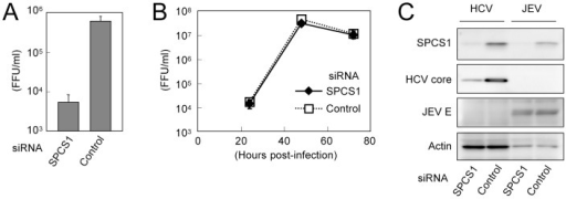 Effect of SPCS1 knockdown on the propagation of JEV.Huh7.5.1 cells were transfected with SPCS1 siRNA or control siRNA at a final concentration of 10 nM, and infected with JEV or HCVcc at an MOI of 0.05 at 24 h post-transfection.(A) Infectious titers of HCVcc in the supernatant at 3 days post-infection were determined. (B) Infectious titers of JEV in the supernatant at indicated time points were determined. (C) Expression levels of endogenous SPCS1 and actin as well as viral proteins in the cells were determined by immunoblotting using anti-SPCS1, anti-actin, anti-HCV core, and anti-JEV antibodies 3 days post-infection.