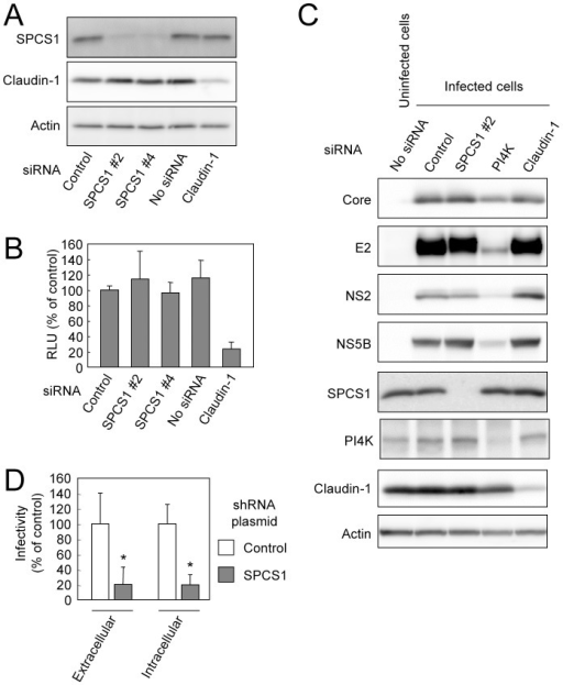 Effect of SPCS1 knockdown on entry into cells, genome replication, and assembly or release of infectious virus.(A) Huh7.5.1 cells were transfected with siRNA for SPCS1 or claudin1, or control siRNA at a final concentration of 30 nM. Expression levels of endogenous SPCS1, claudin-1, and actin in the cells at 2 days post-transfection were examined by immunoblotting using anti-SPCS1, anti-actin, and anti-claudin-1 antibodies. (B) Huh7.5.1 cells transfected with indicated siRNAs were infected with HCVtcp at 2 days post-transfection. Luciferase activity in the cells was subsequently determined at 2 days post-infection. Data are averages of triplicate values with error bars showing standard deviations. (C) Effect of SPCS1 knockdown on replication of HCV genome. HCV-infected Huh-7 cells transfected with siRNA for SPCS1, PI4K or claudin1, or control siRNA at a final concentration of 30 nM. Expression levels of HCV proteins as well as endogenous SPCS1, PI4K, claudin-1, and actin in the cells at 3 days post-transfection were examined by immunoblotting. (D) HCV infectivity in Huh7.5.1 cells inoculated with culture supernatant and cell lysate from Huh7-25 cells transfected with pSilencer-SPCS1 or control vector along with pHH/JFH1am at 5 days post-transfection. Statistical differences between Control and SPCS1 knockdown were evaluated using Student's t-test. *p<0.005 vs. Control.