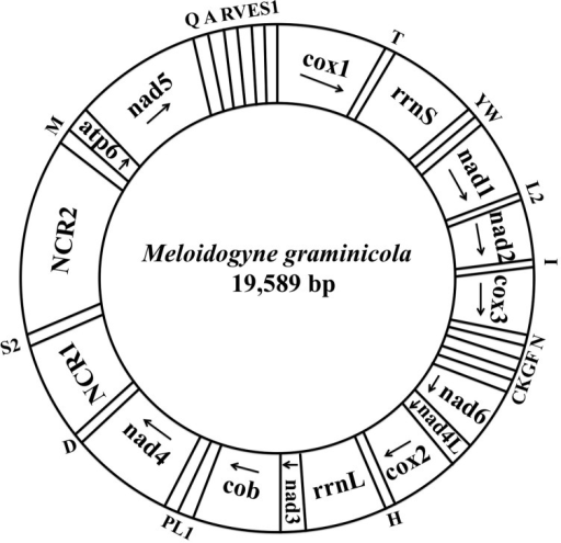"Arrangement of the mitochondrial genome of Meloidogyne graminicola.Gene scaling is only approximate. All genes are coding by the same DNA strand, and the arrow indicates the direction of transcription. All protein-coding genes have standard nomenclature. All tRNA genes follow the one-letter amino acid code; L1/L2 and S1/S2 indicate tRNA genes for tRNALeu(CUN)/tRNALeu(UUR) and tRNASer(AGN)/tRNASer(UCN), respectively. ""NCR1"" refers to a small noncoding region and ""NCR2"" refers to a large noncoding region."