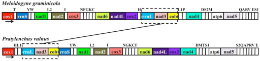 Comparison of mitochondrial gene arrangements between Meloidogyne graminicola and Pratylenchus vulnus.Gene and genome size are not to scale. The noncoding region (NCR) is not indicated. Arrows below the gene order map indicate the direction of transcription of genes. Genes involved in the rearrangements are shown in dashed boxes.
