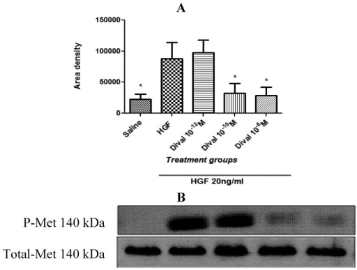 Divalinal inhibits hepatocyte growth factor (HGF)-dependent c-Met activation. (A) HEK293 cells were treated for 10 min with HGF ± divalinal at 10−12, 10−10, or 10−8 M. HEK293 cell lysates were immunoblotted with anti-phospho-Met and anti-Met antibodies. Both treatment groups (HGF 20 ng/mL + Dival at 10−10 and 10−8 M) were statistically different from the HGF treated group (* p < 0.05), but were not different from one another or non-treated controls (p > 0.05). Mean ± SEM, N = 3. (B) Western blots for P-Met and total-Met.