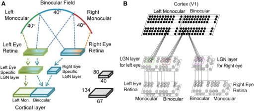 The three layered visual pathway model. We have modeled 40° of binocular and left monocular visual fields each as shown in (A). The left and the right eye retinae are 80 × 80 each. The left eye specific LGN layer is 80 × 80 with 40 × 80 region getting input from left monocular field and the rest 40 × 80 region from binocular field of vision. The right eye specific LGN layer is 40 × 80 and receives input from binocular field of vision. The cortical layer in the right hemisphere has left monocular and binocular regions of size 67 × 134 each. (B) The LGN layer for each eye has two sheets of cells each with center-surround structure—one for ON center and another for OFF center type cells. Each cortical cell in the left monocular region gets input from a 13 × 13 section of cells from the left eye specific LGN layer, whereas each cell in binocular region gets input from a 13 × 13 section of cells from both the left eye and the right eye specific LGN layers.