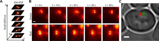 (A) Behavior of the DH-PSF as a function of axial defocus (z). (B) Fluorescence images from the green (top) and red (bottom) channels at 10-s intervals of one example track pair. Scale bar, 1 μm. (C) The 2D projection of trajectories from B overlaid on white light image of whole cell. Scale bar, 1 μm.