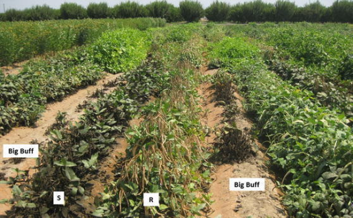 A field-based screening for CPA resistance in the CB27 × IT97K-556-6 RIL population at UC-KARE. Each RIL was planted in a 6-m row. The highly susceptible cv. Big Buff was planted as spreader rows. No pesticide was applied during the course of experiment. Plants shown were at 80 days after planting on May 24, 2012