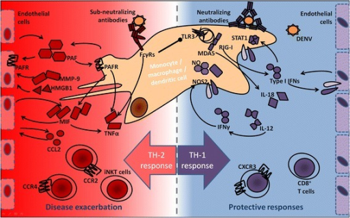 Mechanisms in protective TH1 responses and exacerbating TH2 responses.