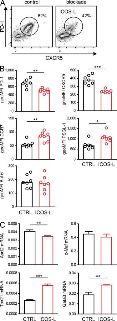 Interruption of ICOS signaling results in rapid reversion of the TFH phenotype. OT-II T cells were transferred into C57BL/6 recipients, which were immunized subcutaneously with NP-OVA on the following day. On day 7 after immunization, recipients were treated with anti–ICOS-L or control antibody (CTRL). (A) Antigen-specific Thy-1.1+ CXCR5+ PD-1+ cells were analyzed by flow cytometry after 20 h of blockade. (B) Expression of CCR7, PSGL-1, and Bcl-6 on gated TFH cells is shown as geoMFI; each dot represents an individual animal and bars indicate the mean. Representative experiment out of three, with seven animals per group. (C) Antigen-specific TFH cells (Thy-1.1+ CXCR5+ PD-1+; draining lymph nodes pooled from 20 animals) were sorted 6 h after blockade for preparation of RNA. Expression of c-Maf, Ascl2, Gata3, and Tbx21 was measured by quantitative RT-PCR. Shown is the mean (± SEM) expression relative to β2-microglobulin from two independent experiments with three technical replicates each. *, P < 0.05; **, P < 0.01; ***, P < 0.001.