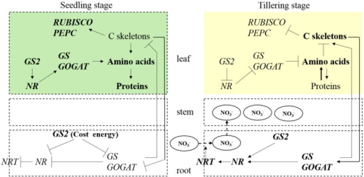 Summary of the differences between the seedling stage and the tillering stage in the GS2 transgenic plant. The symbols ↑ and ⊺ indicate induction and repression, respectively.