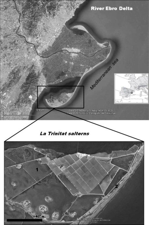 Geographical situation of the study area.Location of the Ebro Delta (Province of Tarragona, NE Spain) and map of the Ebro Delta salterns La Trinitat indicating the Artemia collection sites: (1) Pond 4, (2) Pond CX.