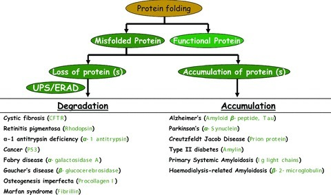 Summary of misfolded protein disorders. Misfolded protein disorders can be divided into two categories based on (1) loss of misfolded protein by ubiquitin proteasome system (UPS) or endoplasmic reticulum-associated degradation (ERAD) or (2) aggregation of misfolded protein in cytosol (aggresomes) or ER (Russell bodies). Misfolded protein associated with the disease are shown in bracket.