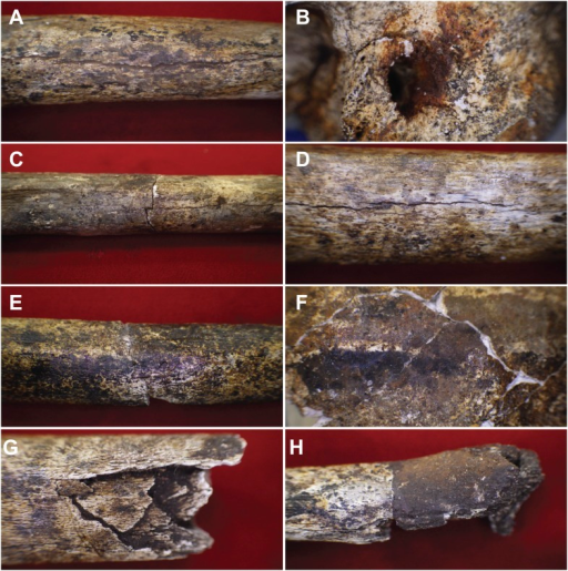 Examples of taphonomic traces recorded on hominin remains.(A) UW101–1288 tibial diaphysis showing evidence of mineral staining adhering to the cortex. The fossil shows evidence of dark zone sub-aerial or sub-surface weathering. Specimen shows a central midline crack with sediment infill, which separates conjoined manganese concretions. (B) UW101–419 (Cranium A[1]) showing iron oxide staining around the external auditory meatus. (C) UW101–312 and 1040 conjoined fragments of a tibial shaft, showing stepped transverse fracture (post-mortem) of the mid-shaft; note longitudinal crack, and evidence of invertebrate modification. (D) UW101–1288 tibial diaphysis showing a weathering pattern typical of Stage 1 evidenced by fine longitudinal cracks, without concomitant flaking, delamination, or the formation of fibrous texture. (E) UW101–1074 tibial shaft showing manganese mineral concretions overlying yellow staining across the diaphysis. (F) Specimen UW 101–419 Cranium A(1) displaying tide lines of dark brown, reddish brown and yellow staining, which extends across different vault fragment. (G) UW101–498 tibial shaft, showing comminuted post-mortem fracture/crushing preserved by sediment infiltrate. (H) UW101–1070 segment of tibial diaphysis displaying differential mineral staining patterns between conjoined fragments.DOI:http://dx.doi.org/10.7554/eLife.09561.012