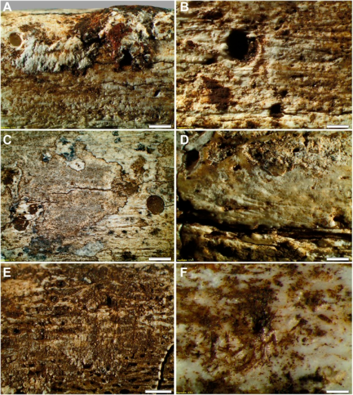 Taphonomy—surface modifications.(A) Removal of the bone surface with sets of shallow, evenly spaced, multiple parallel striations on fibula (UW101–1037), which run longitudinal with the main axis of the bone and are interpreted as gastropod radula damage. (B) Fibula (UW101–1037) showing removal of the bone surface with sets of shallow, evenly spaced, multiple parallel striations that follow the collagen fibres together with shallow circular pits ranging from 0.1 to 3 mm in diameter, the bases of which may be smooth, cupped, or covered with multiple parallel striations. These features have been attributed to gastropod radula damage. (C) Tibia (UW101–484) showing removal of the bone surface with sets of shallow, striations that show a smooth scalloped edge together with circular pits ranging from 0.1 to 3 mm in diameter interpreted as the result of gnawing by beetle larvae. (D) Tibia (UW101–484) with areas of surface removal that have a straight edge associated with scrape marks interpreted as damage made by a beetle mandible. (E) Fibula (UW101–1037) with sets of shallow, evenly spaced, multiple parallel striations orientated transverse to the long axis of the bone interpreted as gastropod radula damage, resulting in an etched surface appearance that exposes underlying structures. (F) Tibia (UW101–484) showing clusters of large individual striations that are variably arrow-shaped and often overlap, interpreted as damage made by a beetle mandible. Compare with Figure 12 which shows surface modifications made by modern snails and beetles and their larvae. The scale bar in all samples equals 1 mm.DOI:http://dx.doi.org/10.7554/eLife.09561.013