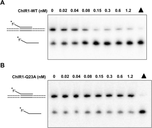 "ChlR1-Q23A fails to unwind DNA triple helixes.(A-B) Helicase reactions (20 μL) were performed by incubating the indicated ChlR1-WT (A) or ChlR1-Q23A (B) concentrations with 0.5 nM 5' tail plasmid-triplex substrate at 37°C for 20 min under standard helicase assay conditions as described in ""Materials and methods"". Triangle indicates heat-denatured DNA substrate control."