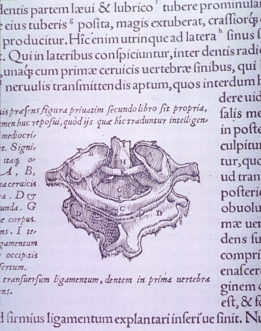 <p>View of the atlas, the first cervical vertebrae.</p>