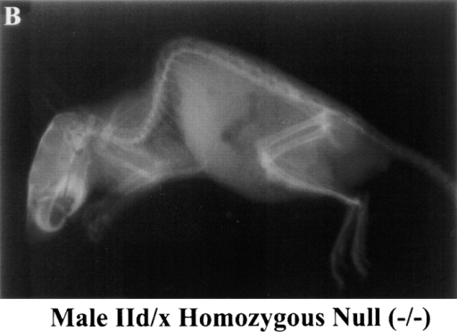 Kyphosis in MyHC-IId/x  mice. Male mice at 12 wk  of age (wild-type) and 8 wk of age (MyHC-IId/x−/−) were anesthetized and x-rayed. (A) MyHC-IId/x wild-type +/+ male. (B)  MyHC-IId/x−/− male.
