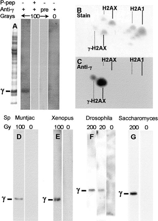 Immunoblots. After exposure to the indicated amount of ionizing radiation and a 30-min recovery, cells were harvested. Extracts were prepared and analyzed by gel electrophoresis and immunoblotting on polyvinylidene difluoride (PVDF) membranes as described in Materials and Methods. (A) Human MCF7 breast cancer cells. Blots of fractionated total SDS extracts were probed as indicated with anti-γ preimmune serum (pre) or with anti-γ containing 1 μM immunizing peptide (P-pep). The left-most lane shows the protein staining pattern on SDS gels. (B and C) Human SF268 astrocytoma cells. Cultures were irradiated with 100 Gy and analyzed on high-resolution two-dimension acetic acid gels. (D–G) Other eucaryotes. The position of migration of the respective H2AX homologues, H2AX in M. muntjak (D) and X. laevis (E), H2AvD in D. melanogaster (F), and H2A in S. cerevisiae (G) are indicated by γ. Cultures of S. cerevisiae strain BY4733 were irradiated and allowed to recover for 30 min at 30°C. Nuclei were prepared from spheroplasts (Celis 1998), and histones were extracted as described (Ueda and Tanaka 1995). For MCF7, M. muntjak, X. laevis, and S. cerevisiae extracts were prepared with SDS and fractionated on 12% NuPage SDS gels (Novex Novel Technology). For D. melanogaster, extracts were prepared with 0.5 N HCl and fractionated on 12% acetic acid–urea–Triton X-100 gels.
