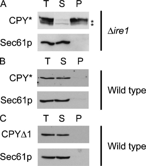 CPYΔ1 does not form detergent insoluble aggregates. Microsomes were prepared from Δire1 cells overexpressing CPY* (A), wild-type cells expressing CPY* (B), and wild-type cell expressing CPYΔ1 (C). Membranes were solubilized in 1% Triton X-100 and separated into pellet and supernatant fractions by centrifugation at 100,000 g. Detergent-soluble (S), detergent-insoluble (P), and total (T) fractions were resolved by SDS-PAGE, followed by immunoblotting to detect CPY* and CPYΔ1 using anti-HA antibodies. The extent of membrane solubilization was determined by reprobing blots for Sec61p, an integral membrane protein control. Asterisks indicate underglycosylated and cytosolic CPY* that form when overexpressed in Δire1 cells (Spear and Ng, 2003).