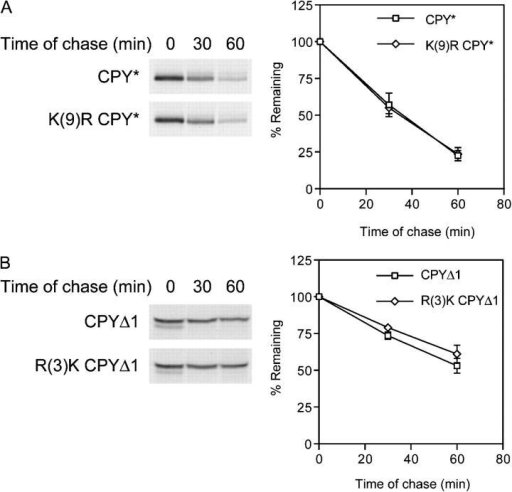 COOH-terminal lysines are not required for CPY* degradation. (A) CPY* (pDN436) or K(9)R CPY* (pES115) degradation in wild-type cells was determined by pulse-chase analysis performed in Fig. 1 E. (B) Turnover of CPYΔ1 (pES57) or R(3)K CPYΔ1 (pES95) was determined using wild-type cells as in A. Plots reflect two independent experiments with the SD of the mean indicated.