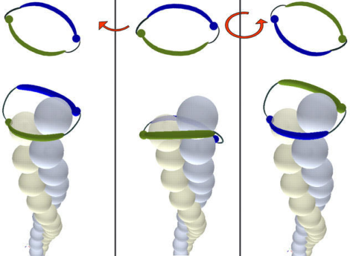 A formin dimer (blue and green) takes several steps (left) and then changes to screw mode (right).