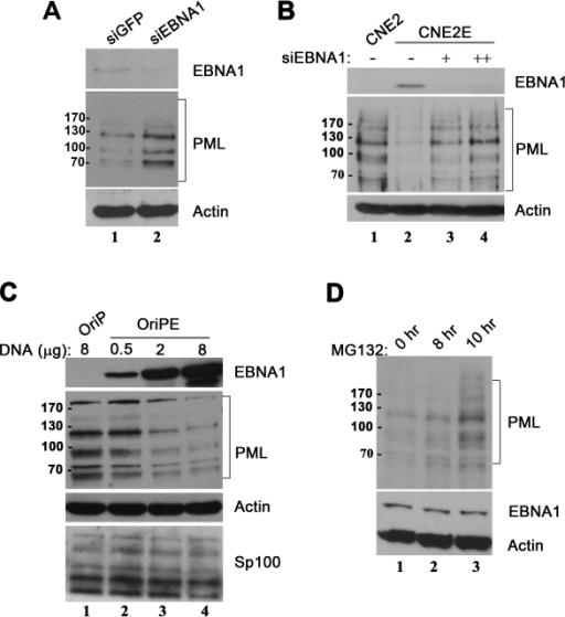 Pml Protein Expression Pml Protein Levels