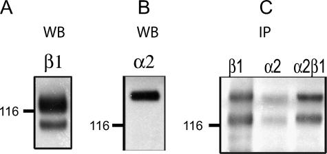 Integrin expression in HRA-19, human colorectal cancer cells. Western blot analysis of β1(A) and α2(B) integrin expression in lysates of HRA-19 cells. C, surface expression of α2β1 integrin in HRA-19 cells, demonstrated by biotinylation, lysis, and immunoprecipitation with antibodies to β1, α2, and α2β1 integrin. Biotinylated proteins were detected with streptavidinHRP.