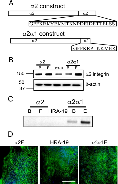 Expression ofα2 integrin constructs in HRA-19, human colorectal cancer cells. A, wild-type α2 and chimeric α2α1 integrin constructs transfected into HRA-19 cells. B, α2 integrin expression in α2 and α2α1 transfectants and HRA-19 cells. The experiment was performed twice. C, α2α1 integrin expression. α2α1 integrin was immunoprecipitated using an α1 cytoplasmic domain antibody, then detected using Western blot with an α2 extracellular domain antibody. The chimeric protein band was found only in α2α1-transfected colonies, α2α1β and α2α1E. The experiment was performed five times. D, α2 integrin localization was examined by immunofluorescence in α2F, HRA-19, and α2α1E cells. Bar, 100 μm.