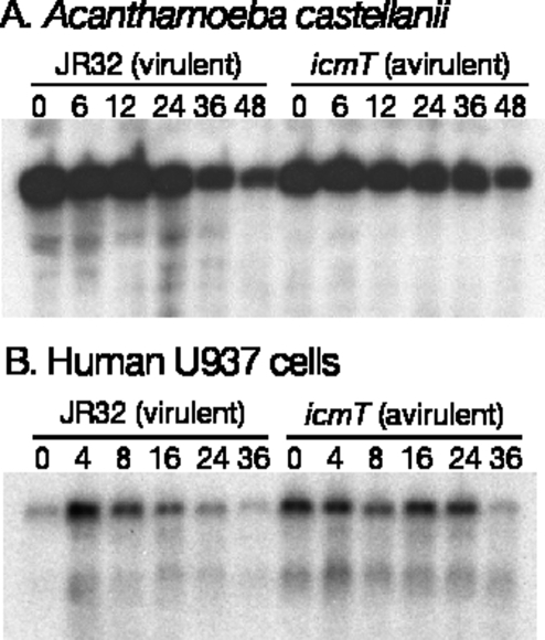 No LSU rRNA cleavage in Acanthamoeba or human cells during L. pneumophila infection.(A) A. castellanii (ATCC 30234) were infected by L. pneumophila in Ac buffer at 37°C. (B) Human U937 cells (ATCC CRL-1593.2) were infected by L. pneumophila. Total RNA samples were probed on northern blots with a A. castellanii or human mitochondrial LSU rRNA probes. In each experiment, the infection was confirmed by monitoring the internalization of GFP-labeled bacteria and host cell killing (data not shown). Experiments were carried out three times and a representative experiment is shown.