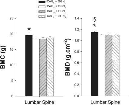 Mean lumbar spine (from L2, L3 and L4) bone mineral content (BMC) and bone mineral areal density (BMD).Subjects were grouped as CAG short (CAGS) if harboring repeat lengths of ≤21 and CAG long (CAGL) if harboring repeat lengths of >21. The cutoff point for GGN short (GGNS) was GGN repeat polymorphism ≤23, otherwise subjects were included in the GGN long (GGNL) group. Four haplotypes combinations were defined as: CAGL + GGNL, CAGS + GGNS, CAGS + GGNL, and CAGL + GGNS. * P<0.05 compared to CAGS + GGNS; § P<0.05 compared to CAGL + GGNS