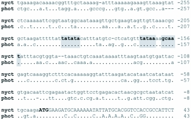 The 5′-flanking nucleotide sequence of the luciferase gene from Nyctophila caucasica aligned with orthologous sequence from Photinus pyralis (GeneBank accession # M15077). Nucleotides are numbered from the translation initiator ATG (bold) with A being position +1. Two putative TATA boxes and a CCAAT box conserved in both sequences are highlighted in grey.