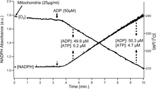 Typical recording of oxidation rate, phosphorylation rate and ADP/ATP concentrations.Oxidation and phosphorylation rates were recorded simultaneously in liver and muscle mitochondria oxidizing glutamate+malate+succinate as substrates. Mitochondrial protein concentration in the oxygraphic vessel was 25 µg.ml−1. Steady states of oxygen consumption and phosphorylation rates were obtained using the coupled enzymatic system composed of Glucose (5 mM) - Hexokinase (2.5 U.ml−1, Sigma-Aldrich, H4502) - Glucose-6-phosphotate dehydrogenase (2.5 U.ml−1, Sigma-Aldrich, G6378) - NADP+ (1.6 mM). Dashed arrows correspond to the sampling of measurement medium taken from the oxygraphic vessel during each recording for determination of ADP and ATP concentrations.
