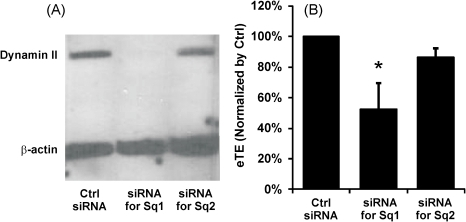 Effects of dynamin II knockdown on pDNA electrotransfection.B16-F10 cells were transfected with either the control siRNA or one of the two specific siRNA oligos directed against two different sequences (i.e., Sq1 and Sq2) in mouse dynamin II gene for silencing its expression. The siRNA treatment was followed by a 48 hr incubation period prior to pDNA electrotransfection. Dynamin II and β-actin (loading control) expression levels in Western blot analysis are shown in Panel A and normalized electrotransfection efficiencies are shown in Panel B. The bars and error bars indicate the means and standard deviations of 4 independent trials, respectively. The data from each trial, used in mean and standard deviation calculation, was the average value of replicates or triplicates. *, P<0.05 (Mann-Whitney U test).